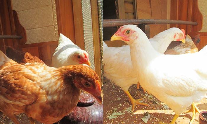 神谷川の動物達 鶏写真