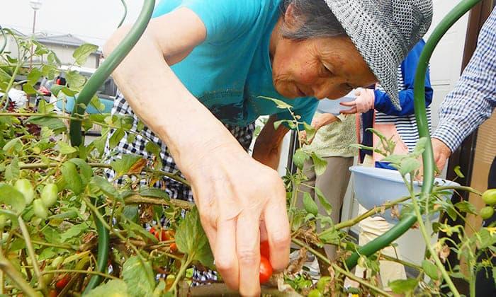 ゆうゆうの家 松永 トマトの収穫 写真